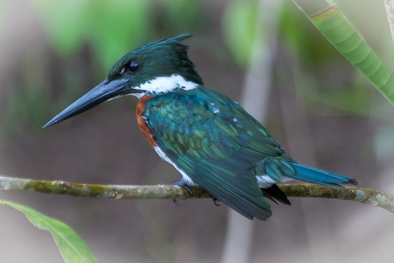 The Amazon Kingfisher of which we saw many.