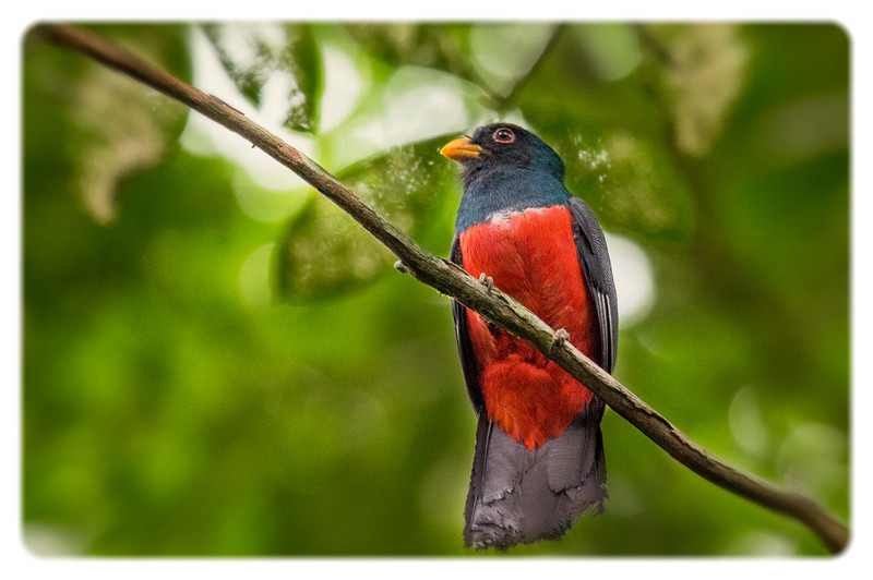 While looking for monkeys, our guide spotted this colorful trogon high in the trees.