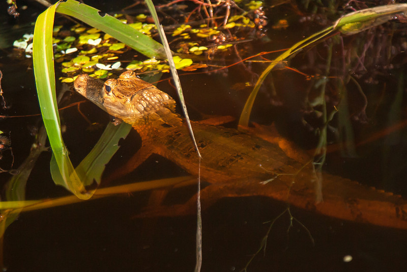 This is a caiman, somewhat similar to a crocodile and alligator.