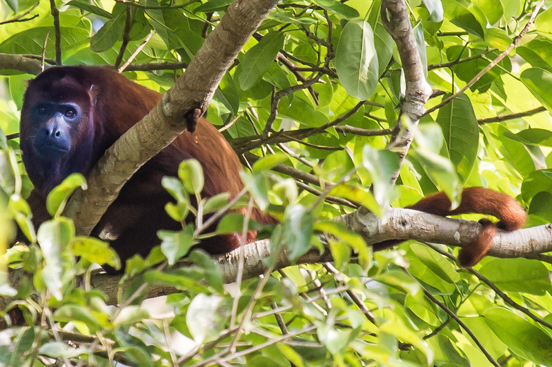 A red howler monkey.