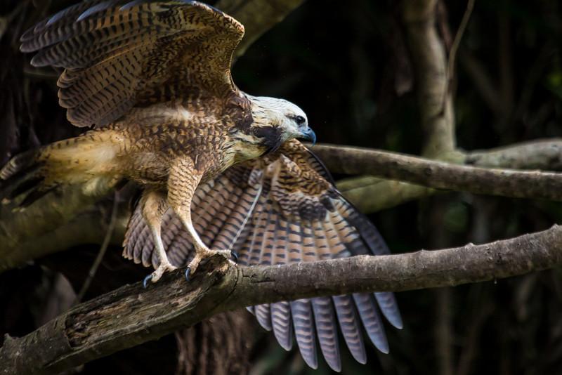 Black-collared hawk.