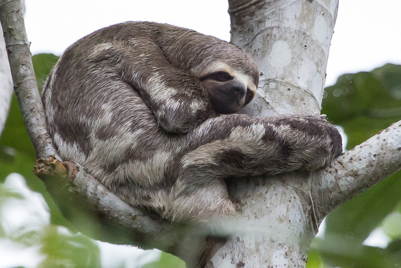 A sleeping 3-toed sloth.