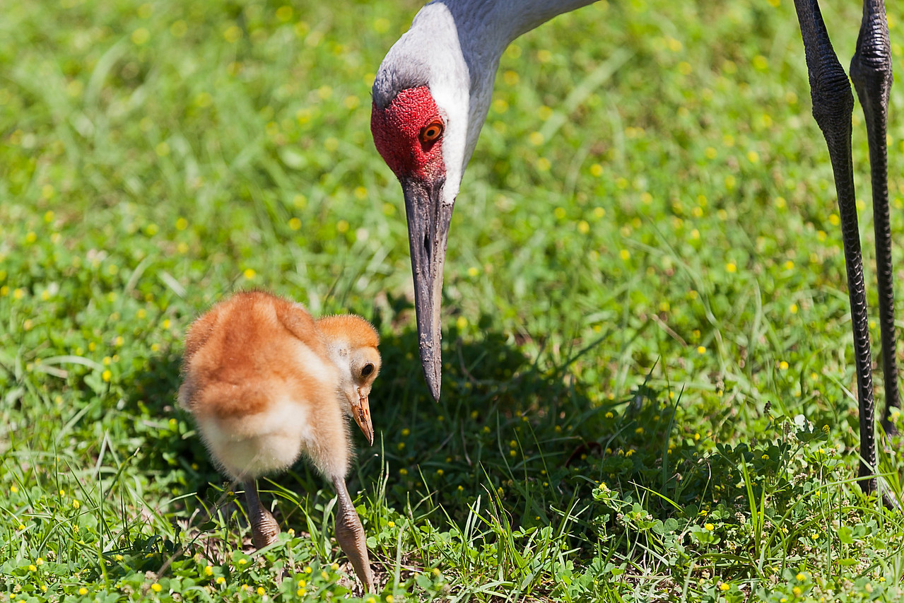 Young sandhill crane learning to eat near Deland, FL