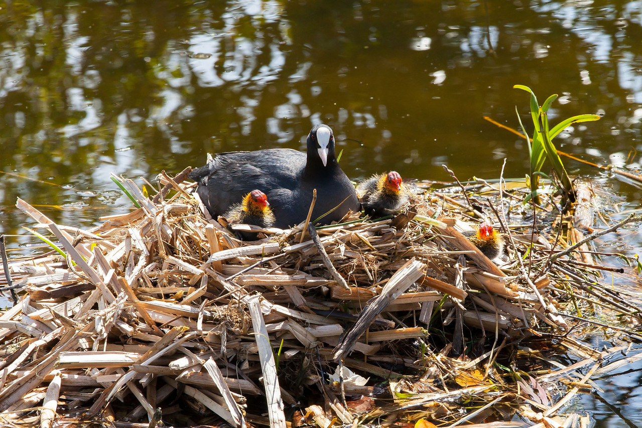 Ducks, geese, swans, and as shown here coots are plentiful. Here's a mother with her 3 young chicks on the nest.