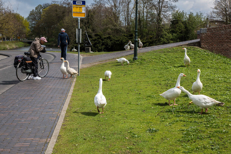 Geese are everywhere in the Netherlands.