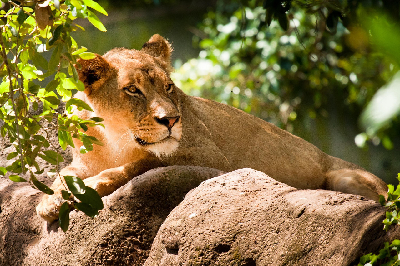 King of the zoo -- the lazy lion.