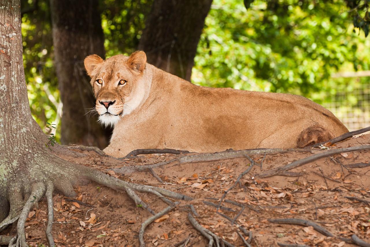 Another bright-eyed lion pondering world politics
