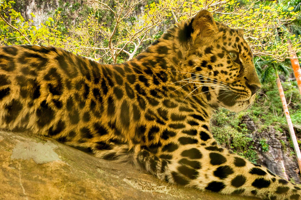 Is it a tiger, leopard, or cheetah? It's a young leopard.