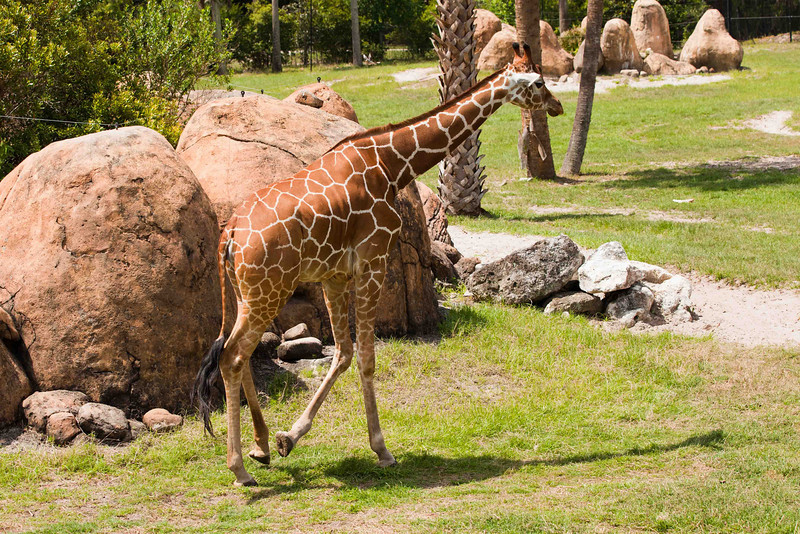 The imposing Giraffe averages 17 feet in height and weighs in at about 2000 lbs