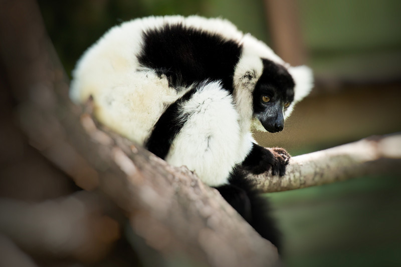 Perched in a tree, this ring-tailed Lemur comes from Madagascar