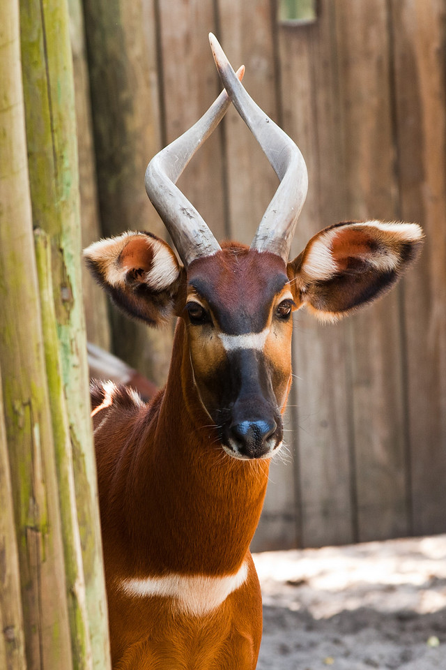 It lives in African dense forests. It's an antelope and the species name is Bongo.