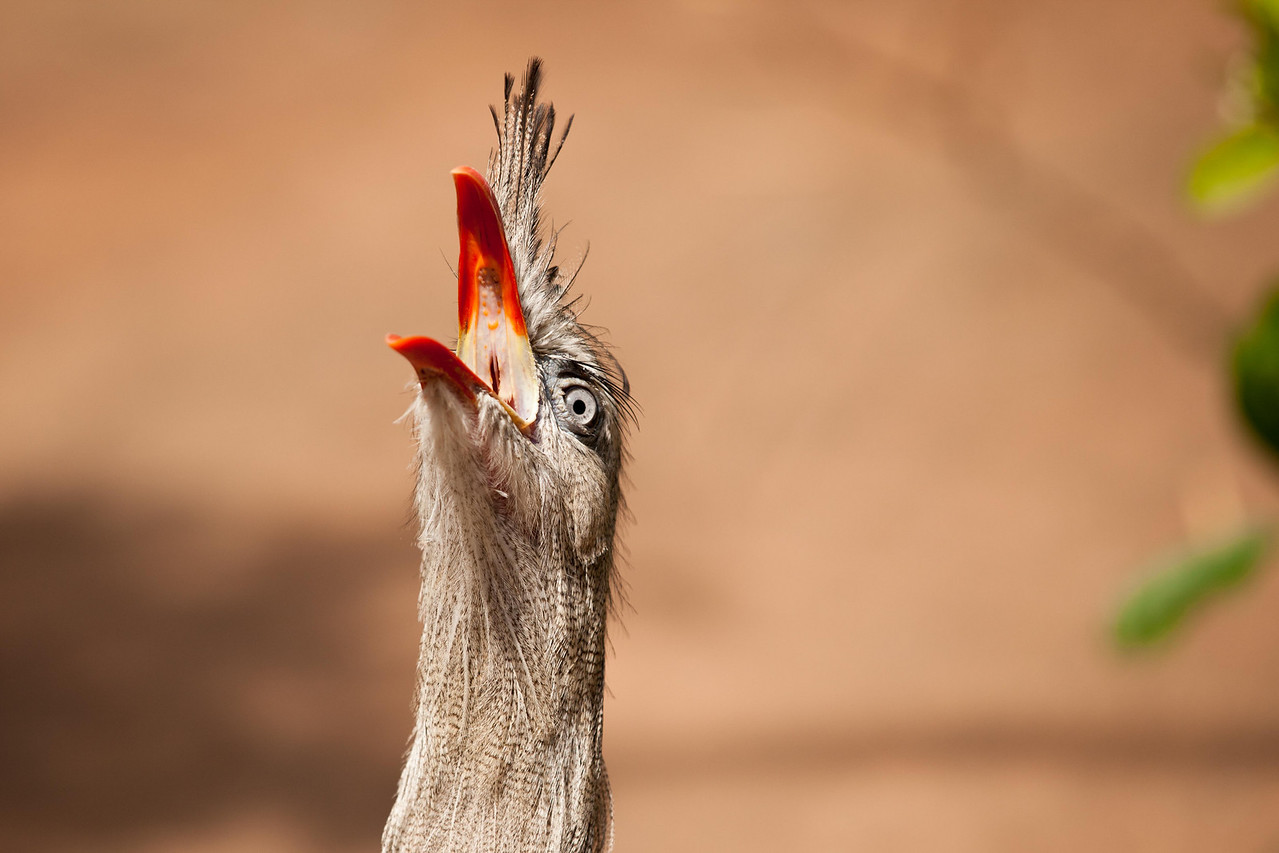 The song of the Red-legged Seriema has been described as a cross between the serrated bark of a young dog and the clucking of turkeys