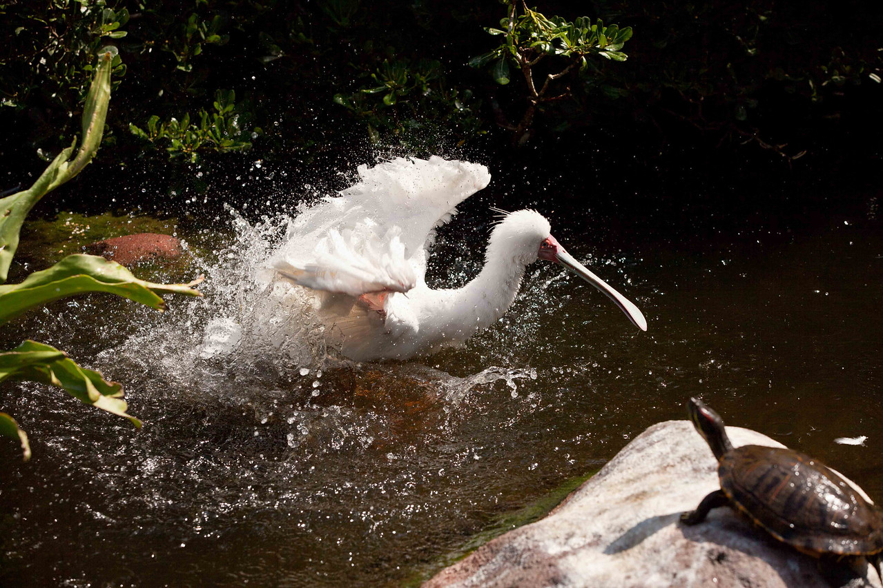 """Like the song of the 1950's said """"splish-splash, I was takin' a bath."""" Here's the African Spoonbill in action again."""