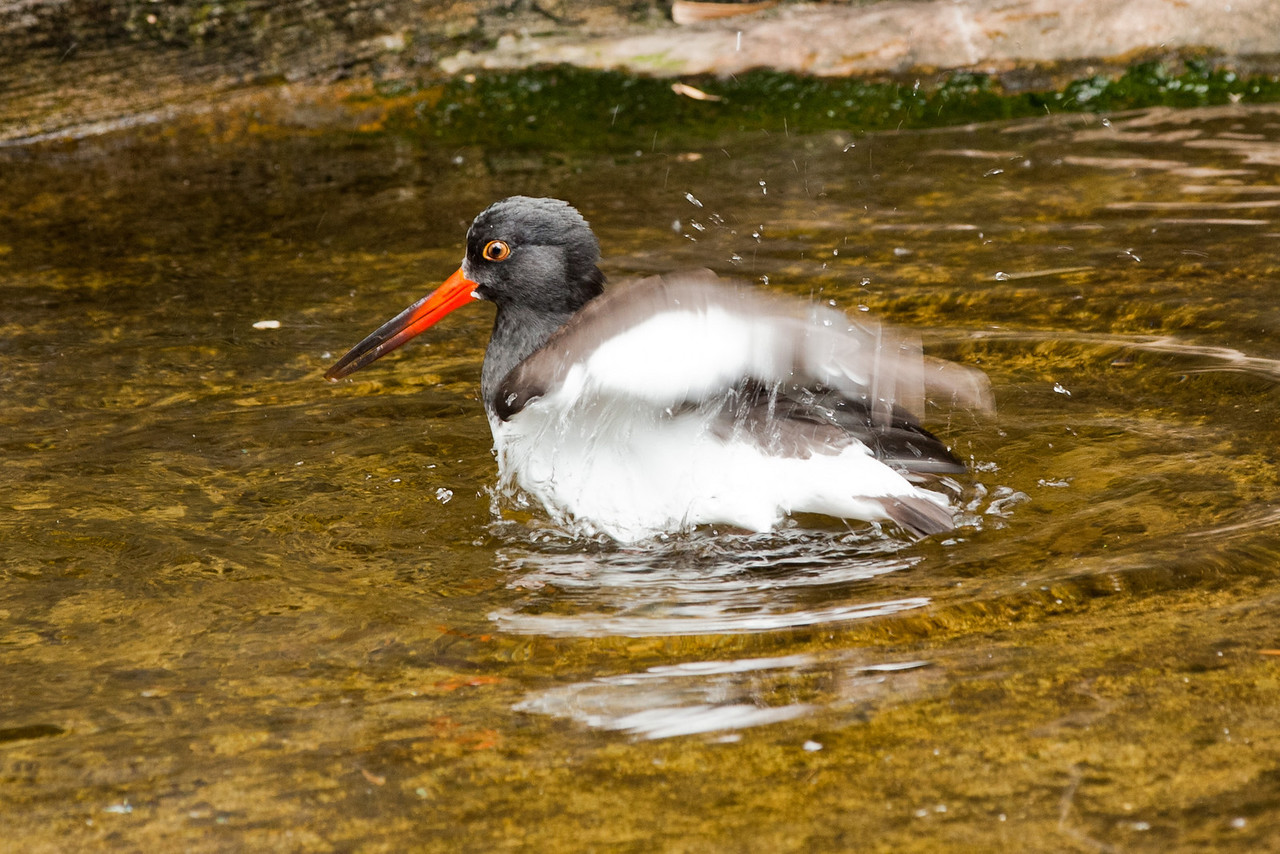 An Oystercatcher, but not sure which type.