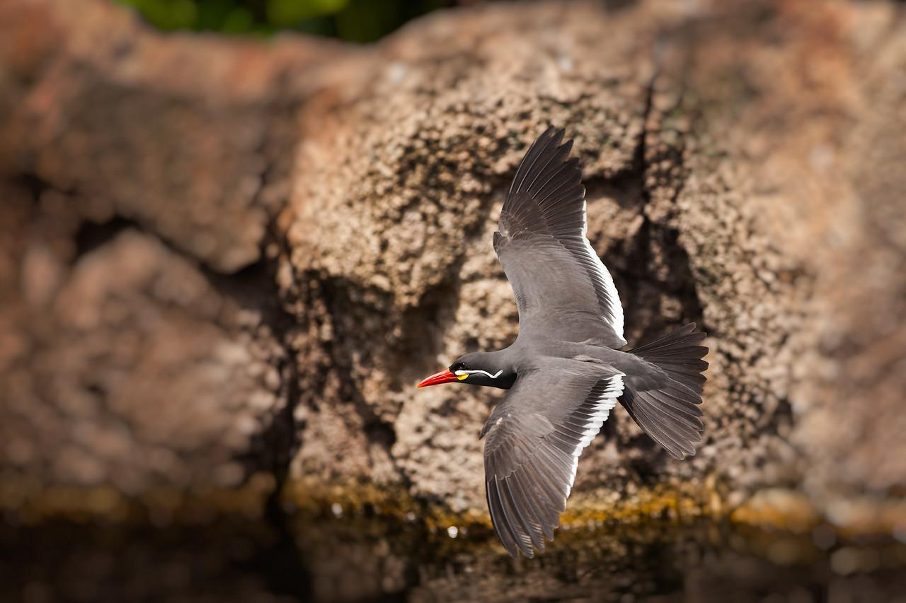 Our Inca Tern in flight