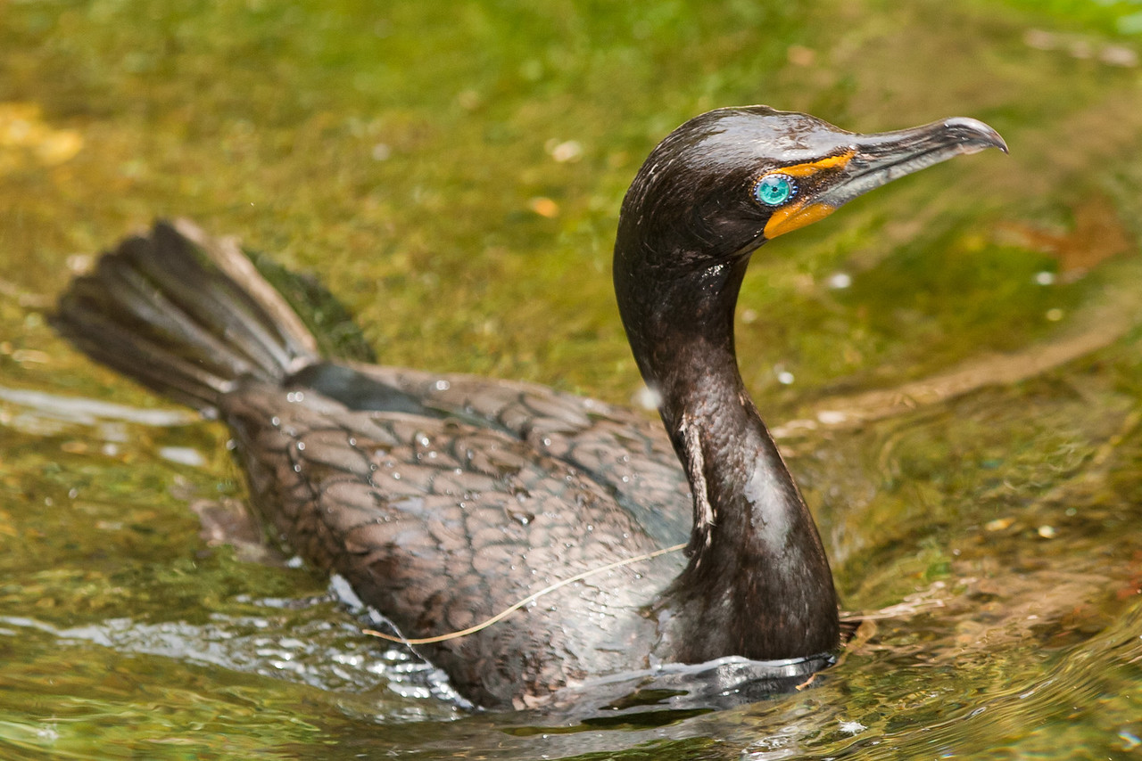 The Cormorant emerging from a dip