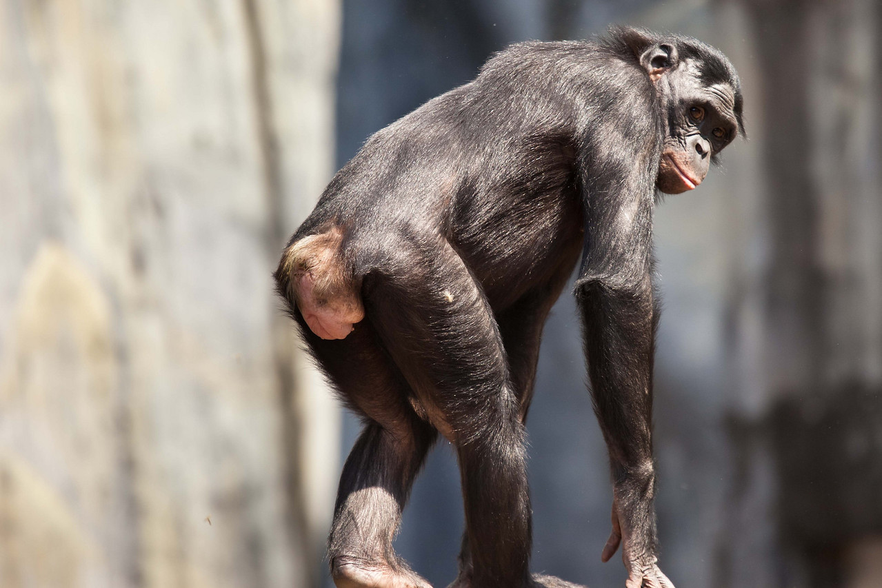 """""""So what are you looking at,"""" says this Chimpanzee from the Congo region"""
