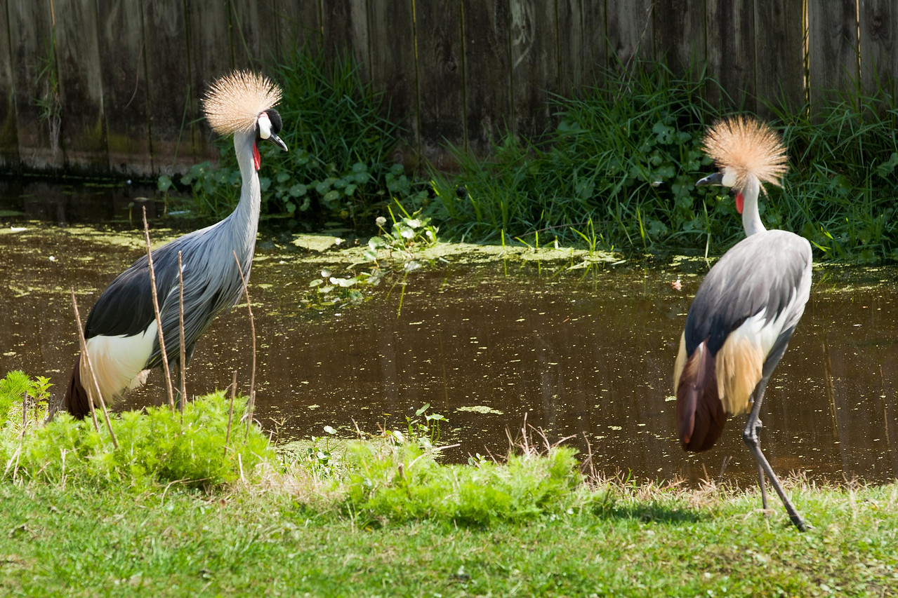 Aren't these exotic birds! I wish I had hair like that on top of my head. These are East African Crowned Cranes