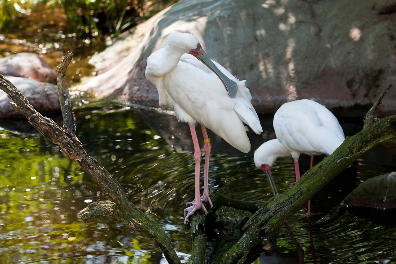 Aren't spoonbills supposed to be reddish colored? Yes, Roseate Spoonbills common to Florida are, but this is an African Spoonbill