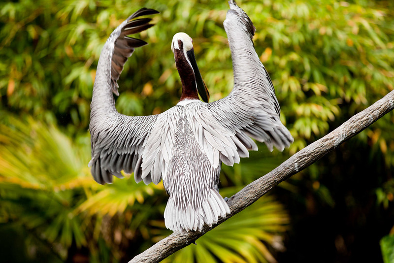 Our Brown Pelican conducting the musical orchestra of the avian residents