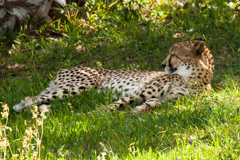 And here's the fastest animal on land, the Cheetah, who can run up to 75 mph
