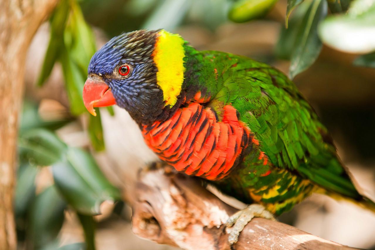 This rainbow colored Lorikeet is common to Australia