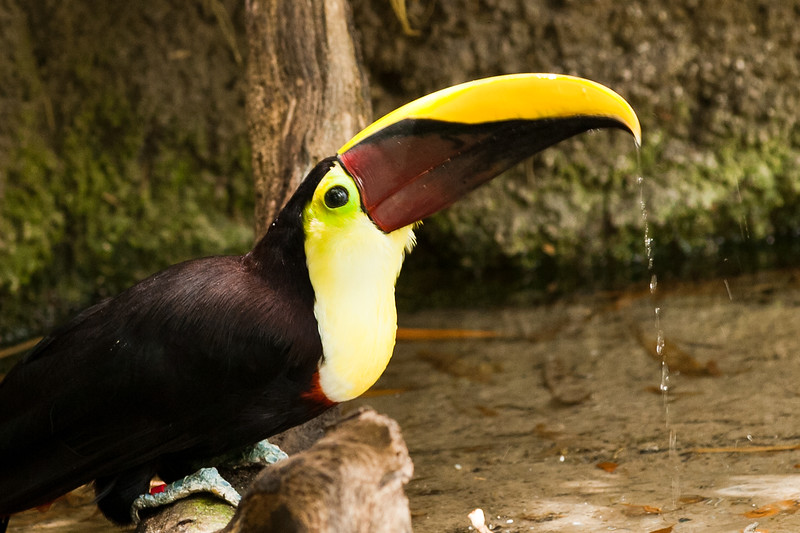 This is a Toco Toucan and it is found in central South America