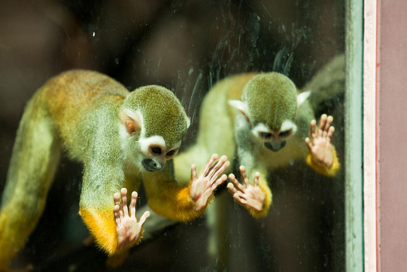 Behind plexiglass these Squirrel Monkeys are intrigued with something below