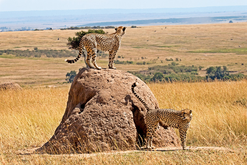 A cheetah perched on a termite hill looking for a possible meal while her mate watches from below.