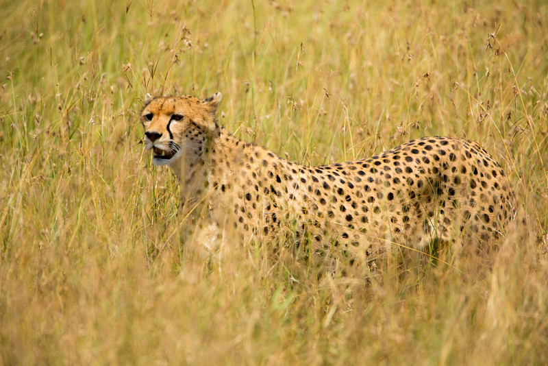 The cheetah, which resembles the leopard, but is far less stealth-like, is also a beautiful animal to watch move.