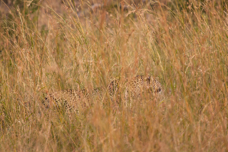 The stealth-like leopard is the forth member of the Big Five. I was lucky to catch a glimpse of this big cat.