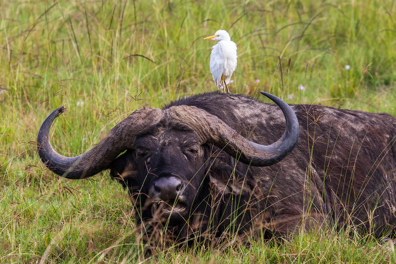 A small egret enjoying the view from its perch on the back of a cape buffalo.