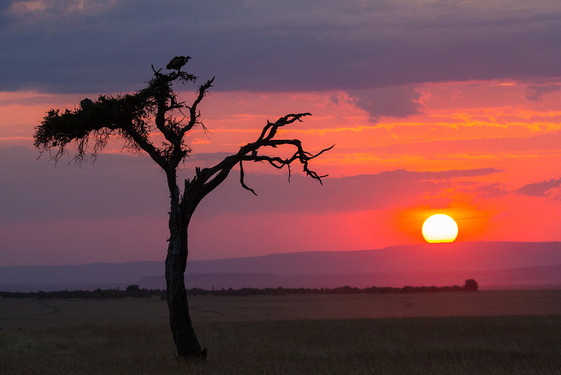 Our day comes to a glorious end watching the sun set over the vast savanna with a vulture perched in the tree for the night. So we've had a glimpse of the Big Five but there are many more big animals to see.