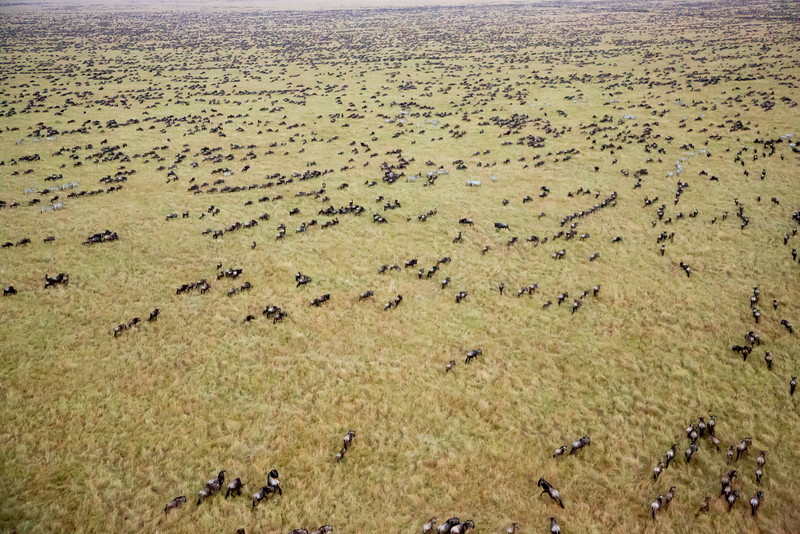 As dawn came we saw this unbelievable view of thousands of wildebeests scurrying away from the sound of the hot air being blasted into the balloon.