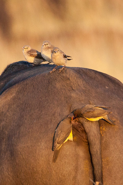 Three wattled starlings watch the disgusting behavior of two oxpeckers.