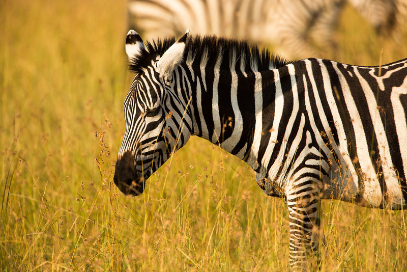 I was so close to this zebra that I could only capture the front half of him.