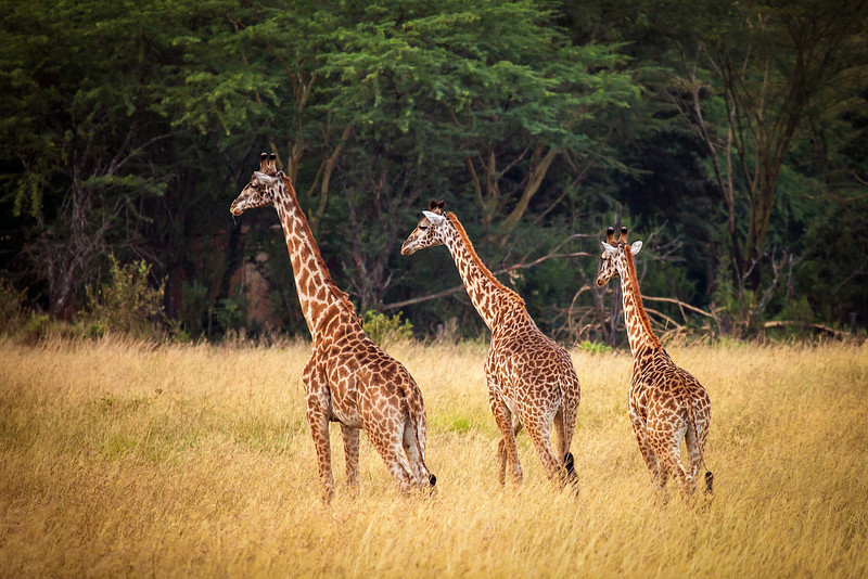 Of course we don't want to forget the towering giraffes who roam the plains of Kenya.