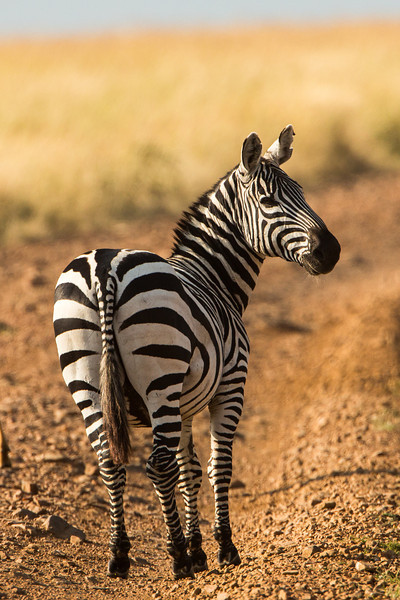 We don't want to forget the common Zebra who roams the prairies of Kenya.