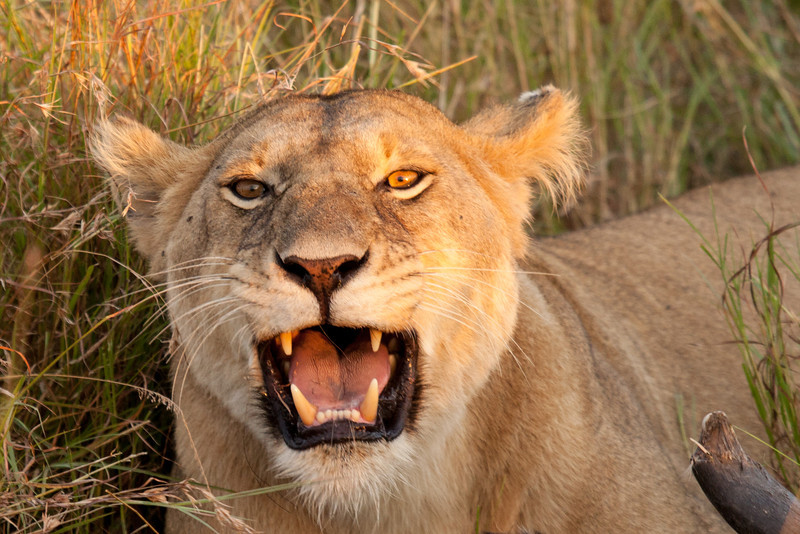 This female lion didn't like our presence because she had just killed a wildebeest and wanted to eat without company.