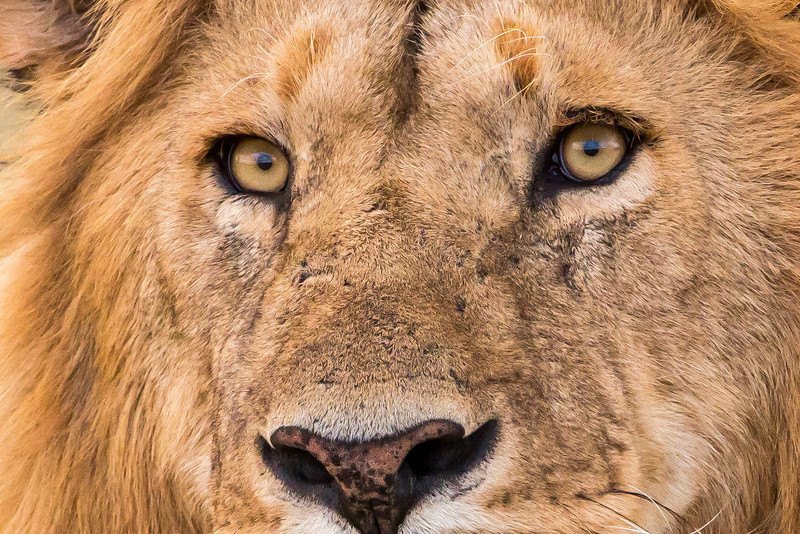 The first of the Big Five is the lion. Here's an up close and personal look at an elderly male lion.