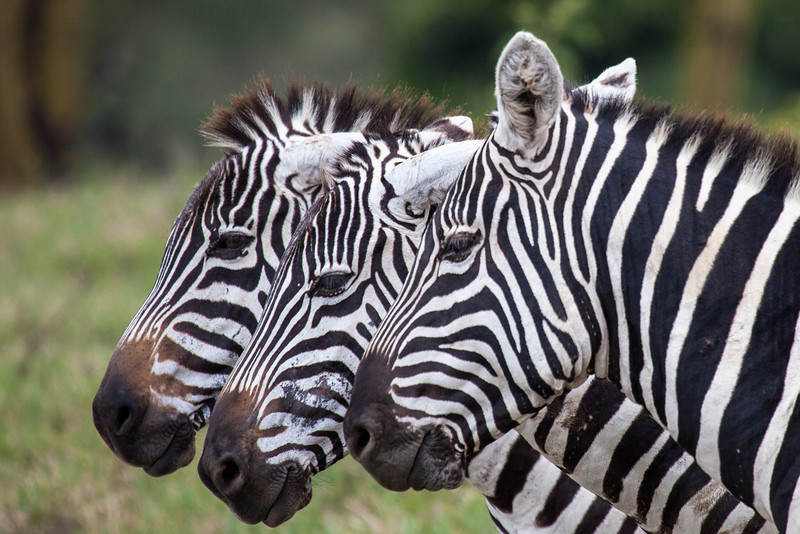 Three zebras in Lake Nakuru National Park.