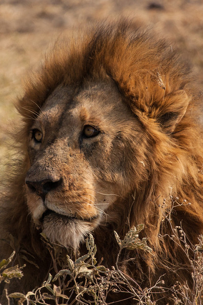 An early morning portrait of a male lion.  Wonder what he's thinking about?