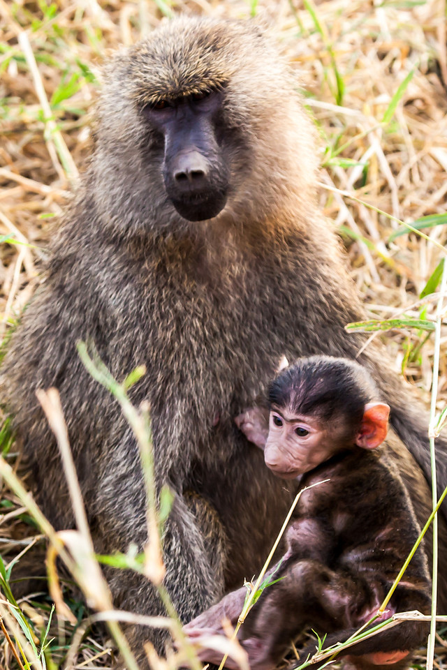 We loved the baboons.  So humanlike in many ways.  Every time we saw them -- both in Kenya and Tanzania -- we always wanted to stop and take more pictures.