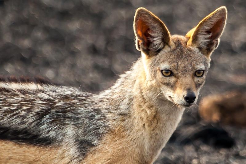 A jackal.