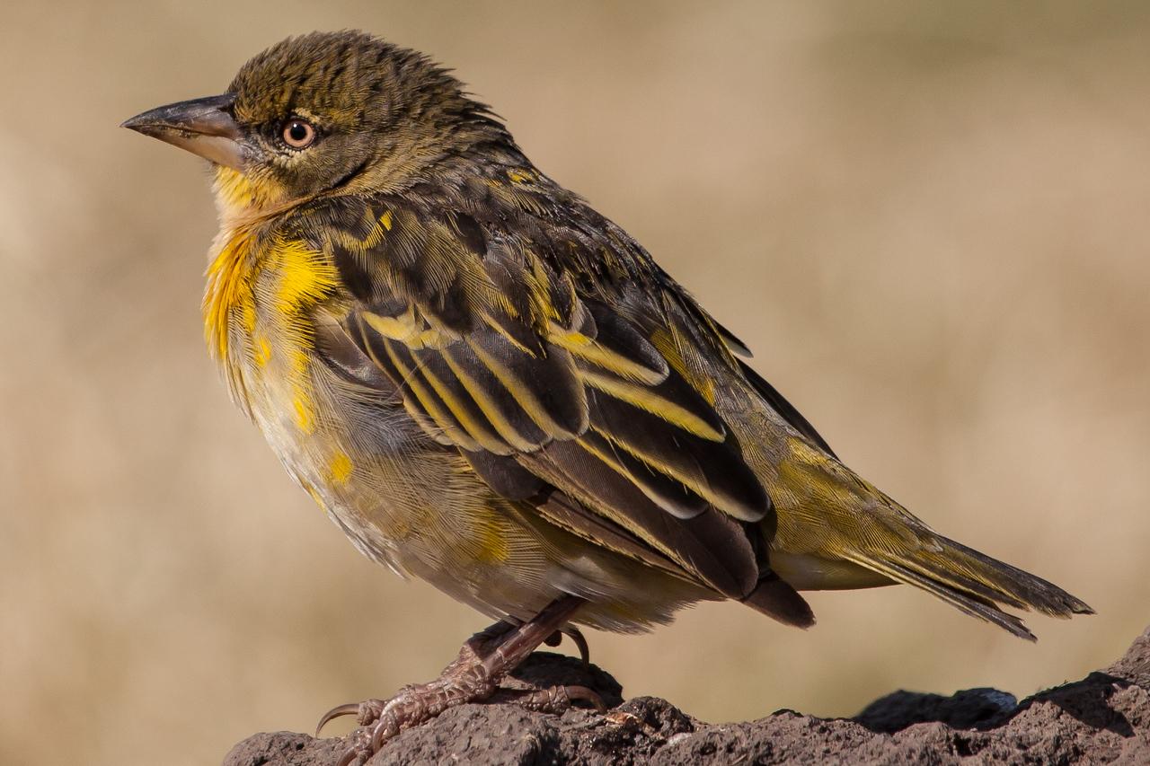An attractive bird.... a lark?