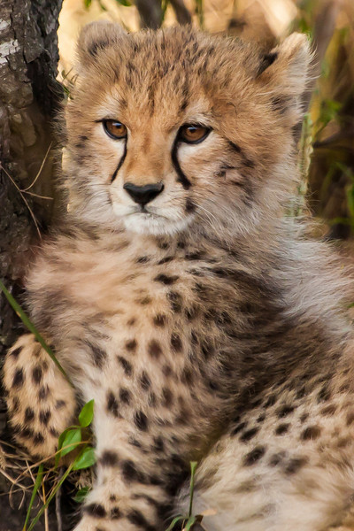 A cheetah cub that captured the hearts of all of us.