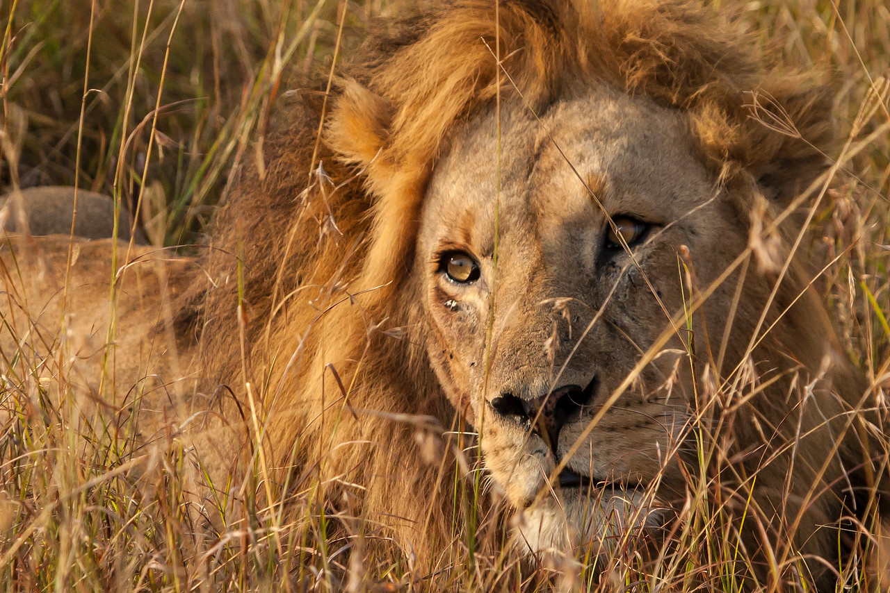 """Another male -- this time in Kenya.  The guides were fantastic about finding wildlife that was oftentimes """"buried"""" in the tall grass the same color as the animals."""