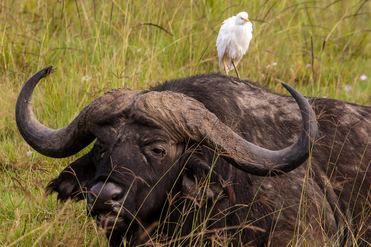 This cape buffalo didn't seem bothered by his cargo hitching a ride.