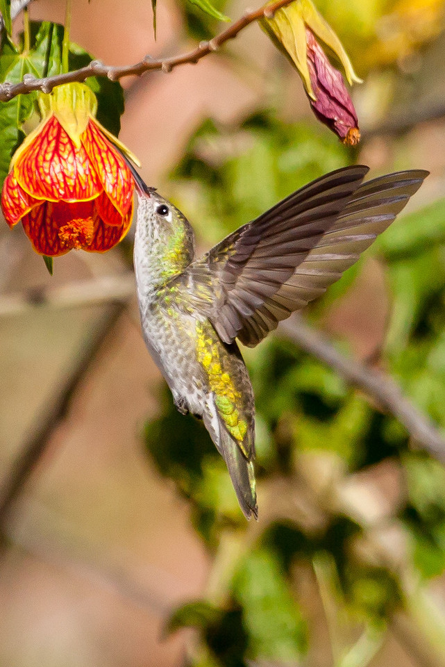Feeding on flower nectar.