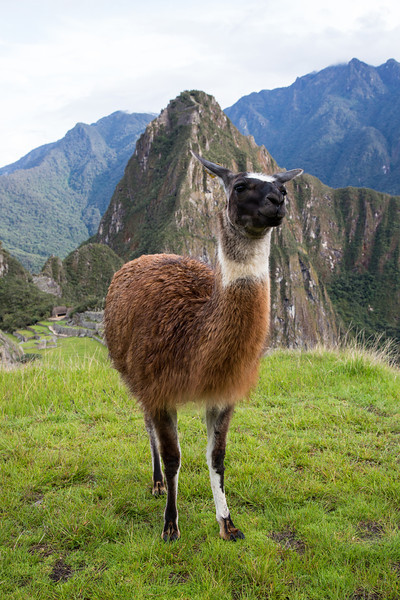 We encountered this curious llama wandering around the upper terraces of Machu Picchu